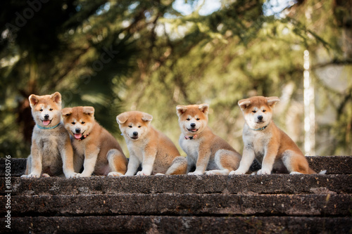 5 puppies of red New Year's Akita dogs sitting on stairs in nature Canvas Print