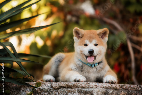 Photo puppy of red New Year's Akita dogs lies on stairs in nature at sunlight