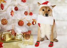 Japanese Shiba Inu Dog With A ...