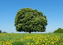 Baum, Groß, Alt, Wiese, Löwe...