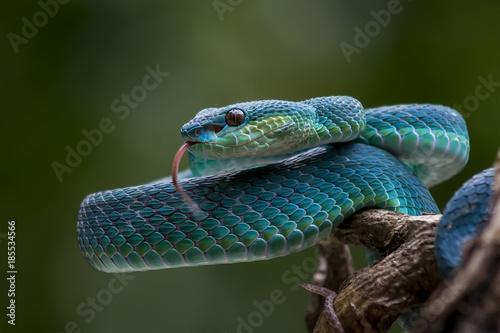 Carta da parati Blue pit viper