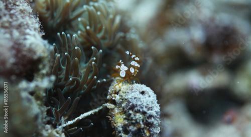 Plakat podwodny świat - słonowodna krewetka