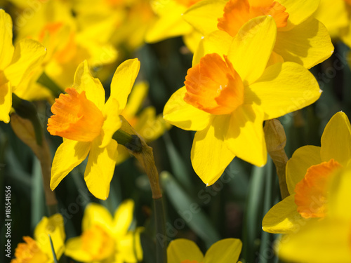 In de dag Narcis Yellow Daffodils in the sun