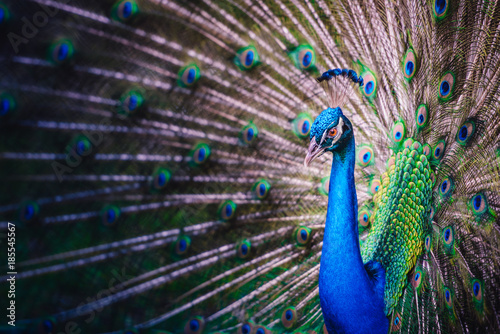 Foto op Plexiglas Pauw Peacock with open Tail Feathers