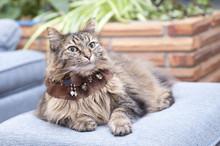 Fluffy Tabby Cat Wearing A Garter