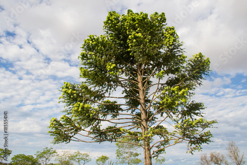 green araucaria on sky in summer Canvas Print