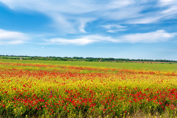 Fototapeta Field of bright red poppy flowers in spring.