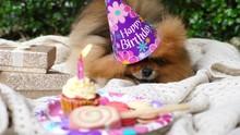 Pomeranian Dog Celebrating Bir...