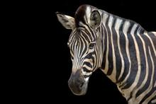 Zebra On A Black Background, A Portrait