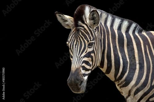 In de dag Zebra Zebra on a black background, a portrait