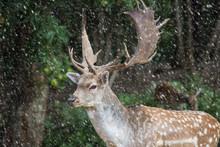 Fallow Deer, Dama Dama