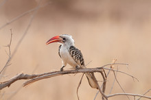 Red-billed Hornbill (Tockus Ru...