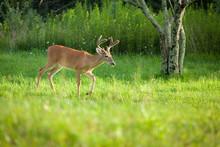 Buck In Velvet Walking