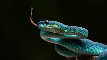 Fototapeta Blue pit viper from indonesia