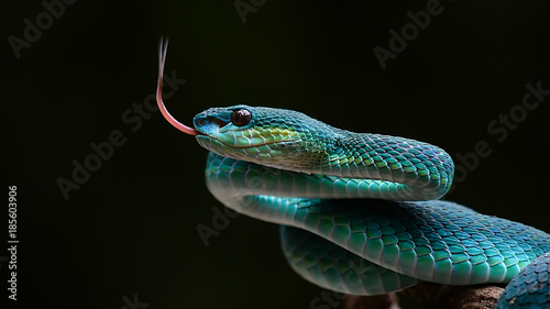 Obraz na plátne Blue pit viper from indonesia