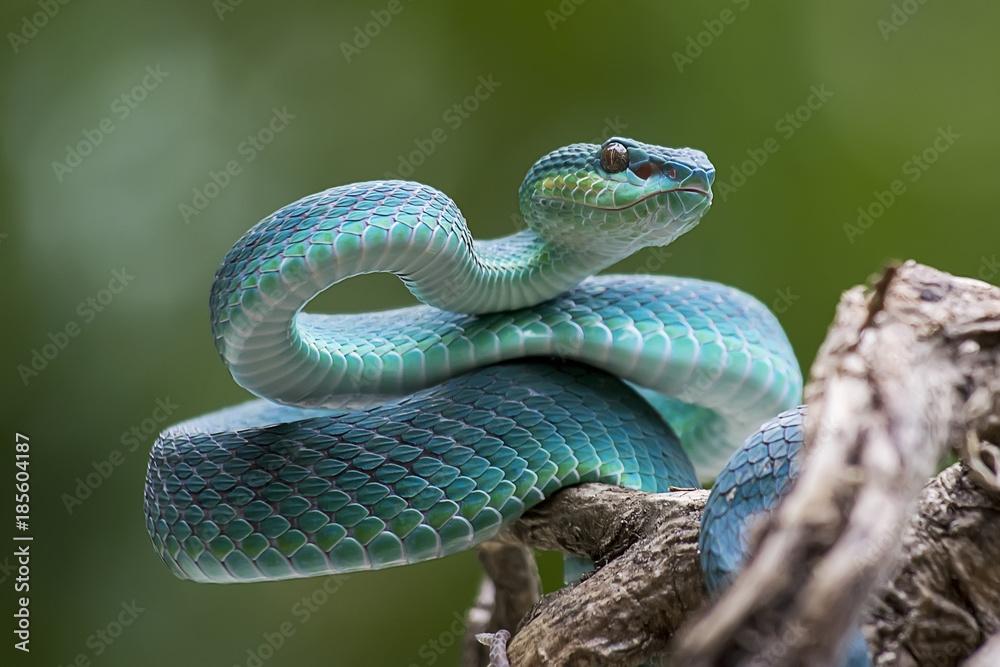 Fototapeta Blue pit viper from indonesia