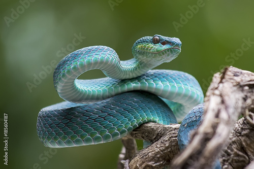 Blue pit viper from indonesia Fototapeta