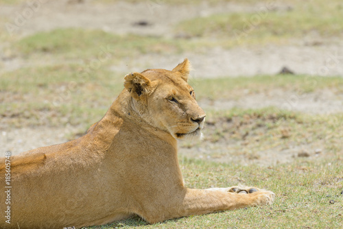 "Fotografie, Obraz  Closeup of a  Lioness (scientific name: Panthera leo, or ""Simba"" in Swaheli)  in"
