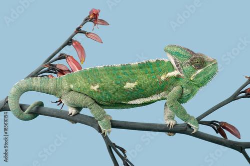 Veiled Chameleon (Chamaeleo calyptratus)/Veiled Chameleon walking along a branch