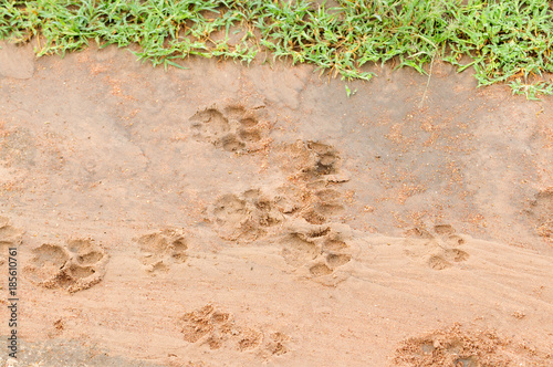 African Lion Tracks in the mud Canvas Print