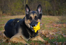 German Shepherd Dog With Squea...
