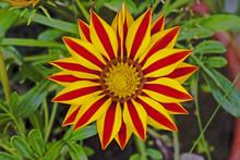 Gazania Flower Close-up. Gazan...