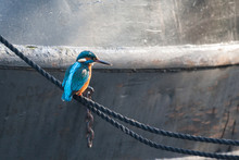Kingfisher Resting On A Rope