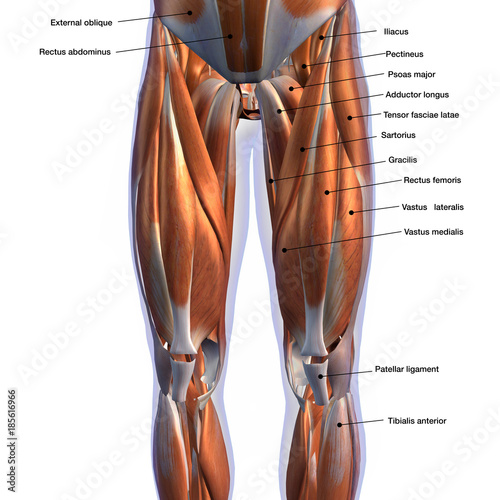 Male Front Leg Muscles Labeled On White Buy This Stock