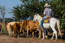 Cowboy With Cattle