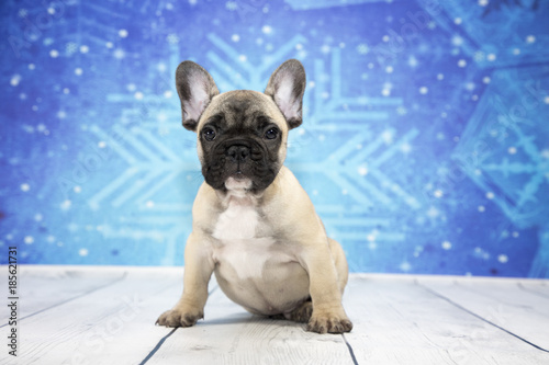 Foto op Plexiglas Franse bulldog French Bulldog with blue snowflake background