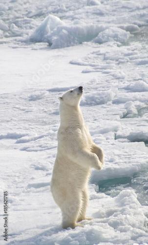 Staande foto Ijsbeer Polar Bear standing during hunt for seals