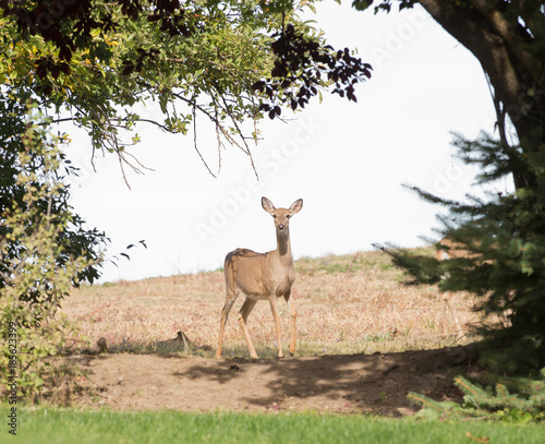 Fotografija Whitetail doe
