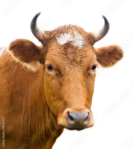 Aluminium Prints Cow head of cow, isolated