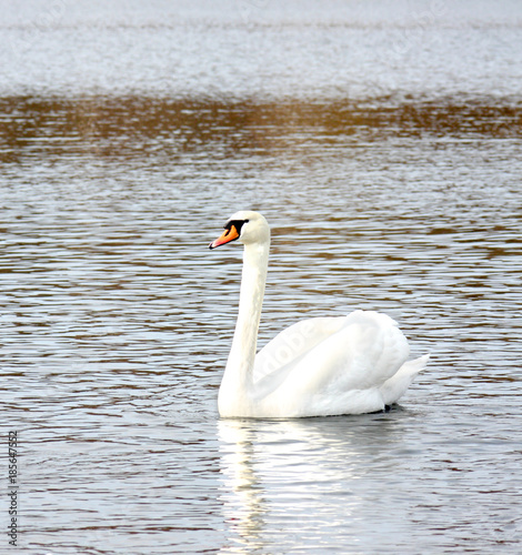 White swan on a water surface
