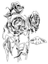A Drawing Of Dried Roses. Blac...