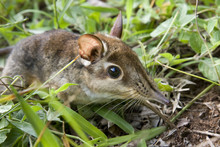 Four-toed Elephant Shrew Or Four-toed Sengi (Petrodromus Tetradactylus) In Coastal Kenya.