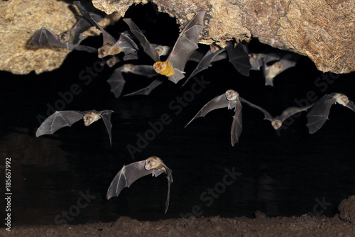 Fotomural  African trident bats (Triaenops afer) emerging from a cave at night, coastal Ken