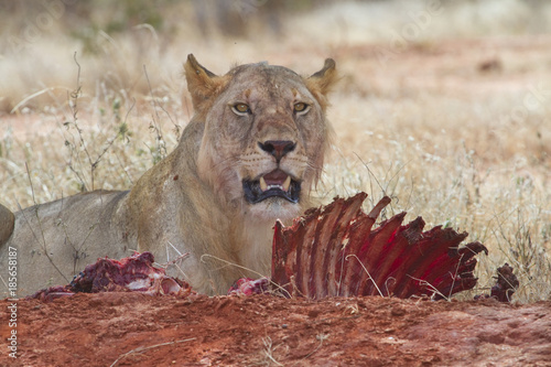 Lioness (Panthera leo) eating the killed waterbuck, Tsavo East National Park, Ke Poster