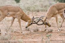 Impala Males (Aepyceros Melamp...