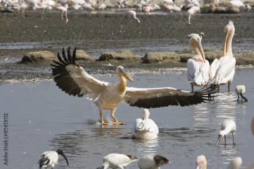 Αφίσα  Great White Pelicans (Pelecanus onocrotalus ) landing at lake Nakuru (Kenya)