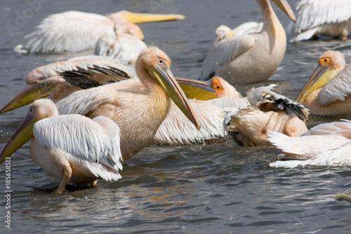 Αφίσα  Great White Pelicans (Pelecanus onocrotalus ) at lake Nakuru (Kenya)