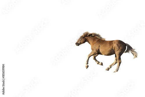 Isolated brown horse galloping. White background