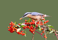 Eurasian Nuthatch With A Nut I...