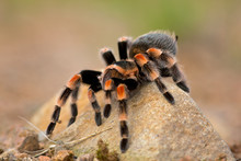 Brachypelma Auratum (also Call...