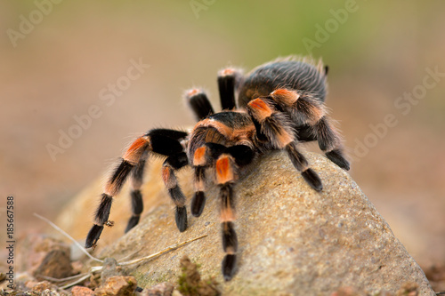 Brachypelma auratum (also called Mexican flame knee) is a tarantula endemic to the regions of Guerrero and Michoacán in Mexico Canvas