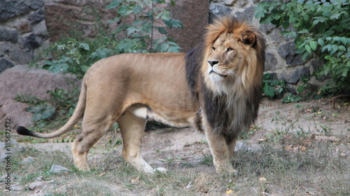 Fototapety, obrazy: King of the jungle. The beautiful lion.