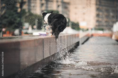 Papel de parede Border collie jumping in the fountain