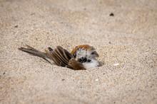 Male Iago Sparrow Dust Bathing In Sand On Boa Vista, Cape Verde