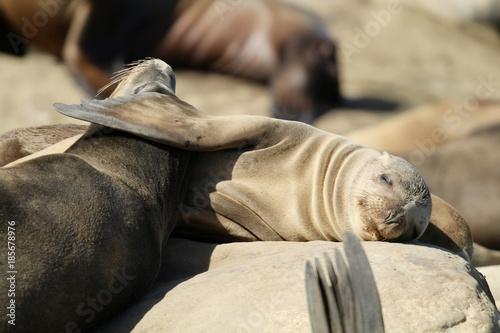 Photo  Sleeping Sea Lions