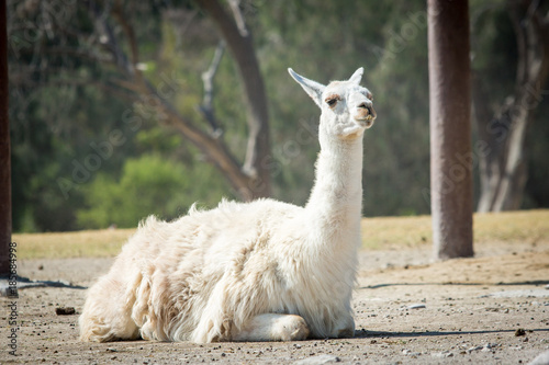 Fotobehang Lama Beautiful lama sitting on the ground